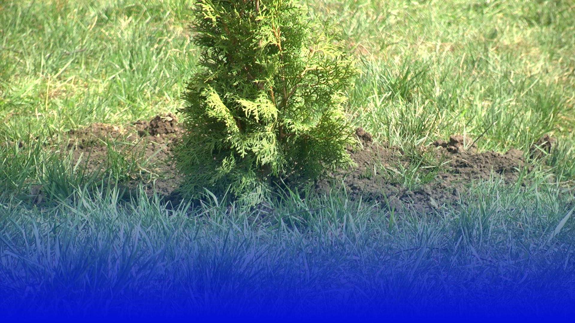 Понад 500 молодих дерев посадили у Тернополі в рамках двомісячника благоустрою