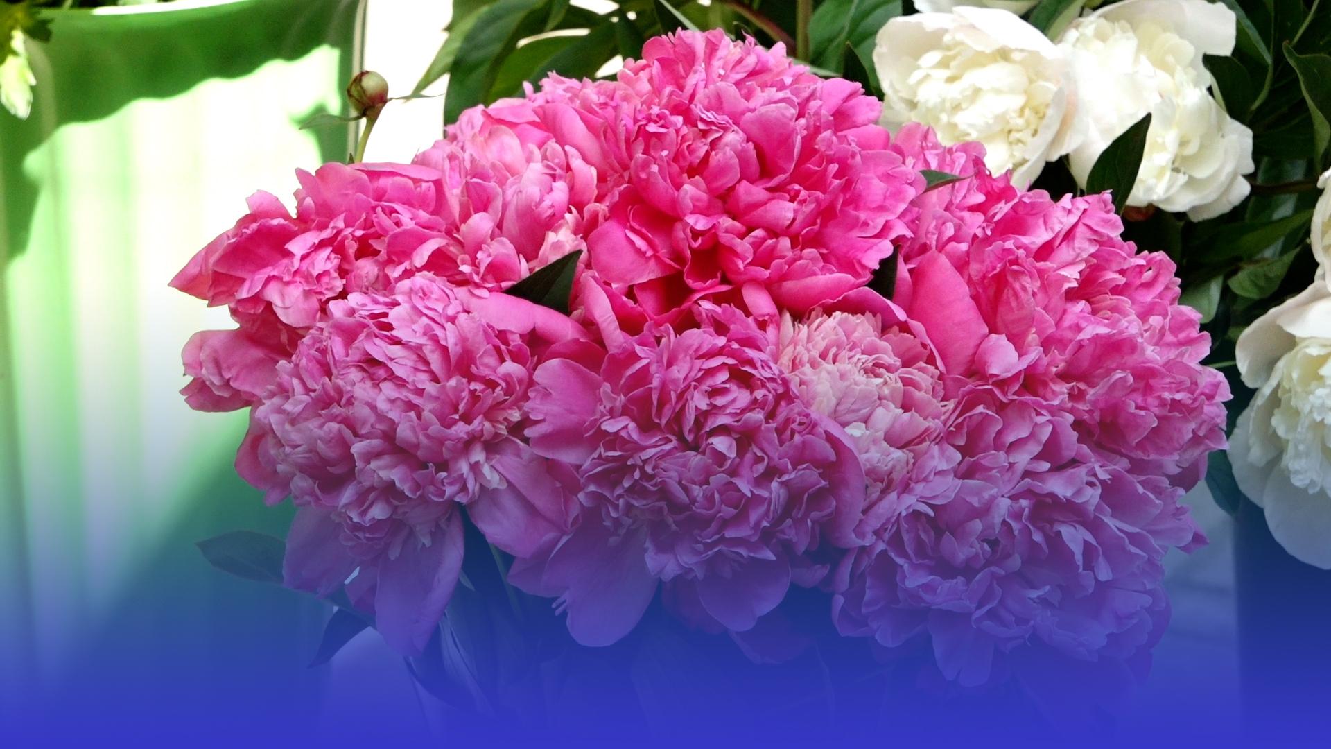 Більше, ніж троянд: півонії заполонили тернопільський квітковий ринок