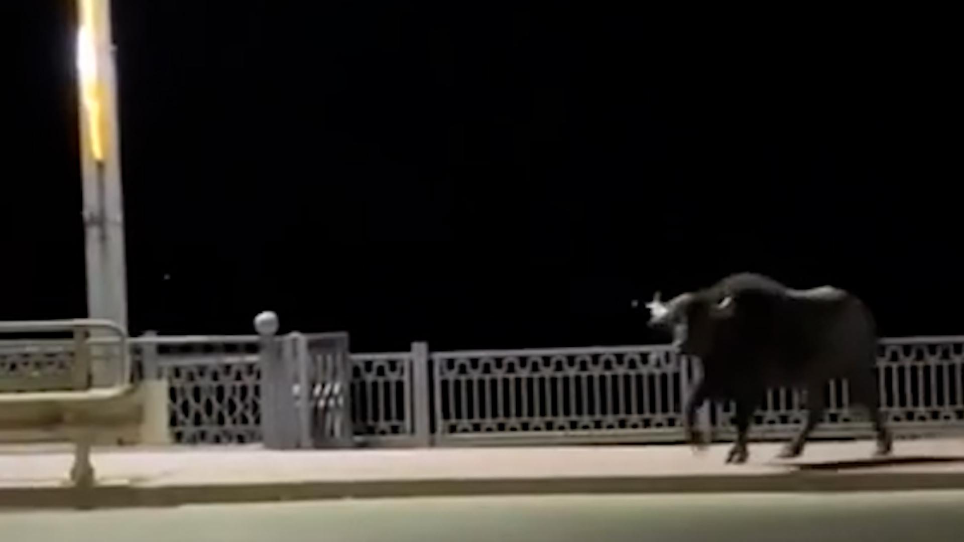 Тернополем розгулювали буйволи та поні